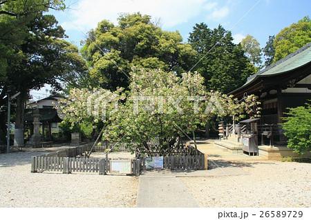 上地八幡宮のウコン桜(愛知県岡崎市) 26589729