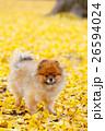 犬 ポメラニアン 秋の写真 26594024