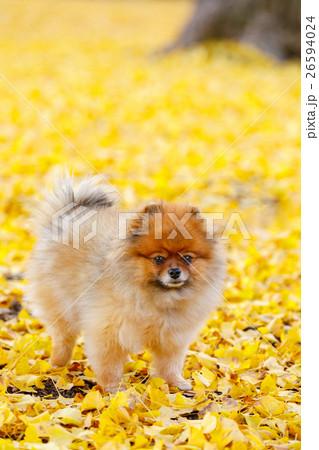 【わわいい動物】イチョウの絨毯とポメラニアン 26594024