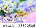 雨イメージ_アジサイとアマガエル 26620586