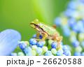 雨イメージ_アジサイとアマガエル 26620588