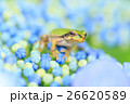 雨イメージ_アジサイとアマガエル 26620589