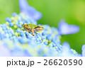 雨イメージ_アジサイとアマガエル 26620590