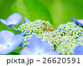 雨イメージ_アジサイとアマガエル 26620591