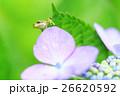 雨イメージ_アジサイとアマガエル 26620592