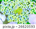 雨イメージ_アジサイとアマガエル 26620593