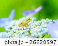 雨イメージ_アジサイとアマガエル 26620597