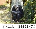 チンパンジー 動物 哺乳類の写真 26625478