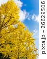 紅葉 イチョウ 銀杏の写真 26629506