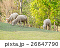 Group sheep standing slope 26647790