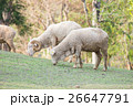 Group sheep standing slope 26647791