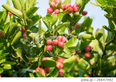 Carunda,Karonda fruit cluster green leaf 26647992