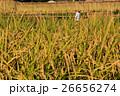 田んぼと稲 26656274
