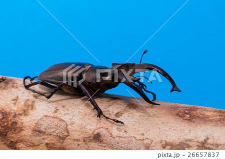 Stag beetle (Lucanus fairmairel)の写真素材 [26657837] - PIXTA