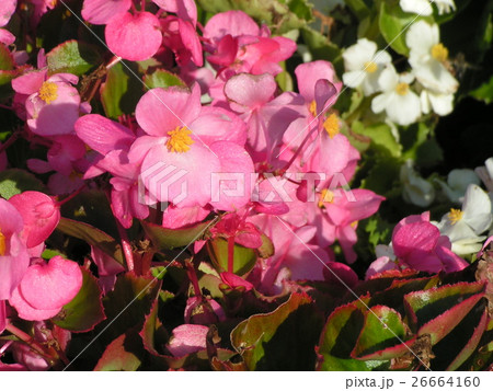 ベコニアセントフローレンスの桃色の花 26664160