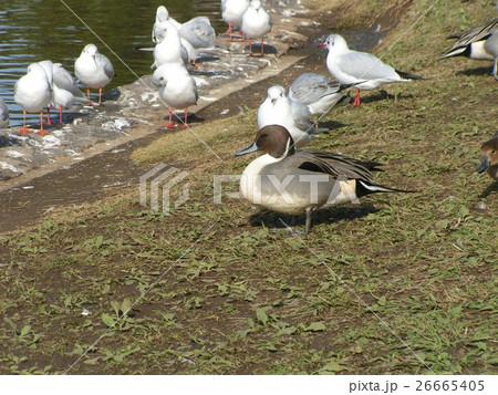 稲毛海浜公園に飛来したオナガガモとユリカモメ 26665405