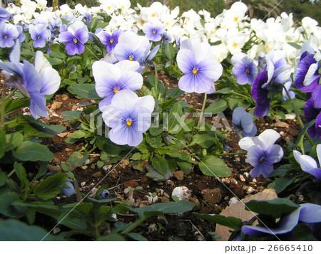 白と青い花のビヲラ 26665410