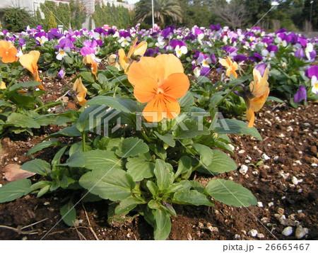 白と青い花とオレンジ色のビヲラ 26665467