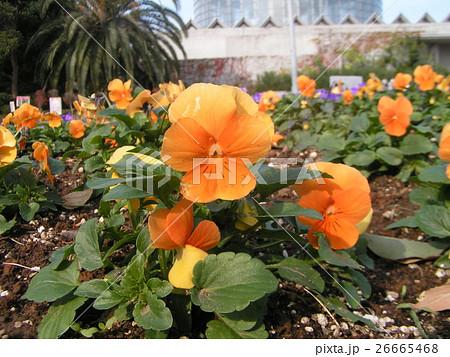 オレンジ色の花のビヲラ 26665468
