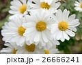 満開の野路菊 26666241
