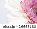 ガーベラ クローズアップ 植物の写真 26668188