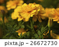 萬壽菊花,菊花,Marigold flower, chrysanthemum,マリーゴールドの花、菊 26672730