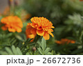 萬壽菊花,菊花,Marigold flower, chrysanthemum,マリーゴールドの花、菊 26672736