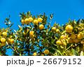 鈴なりの柚子 26679152