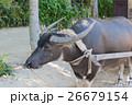 水牛車 26679154