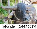 水牛車 26679156