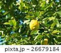 有機レモン 26679184