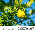 有機レモン 26679197