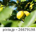 有機レモン 26679198