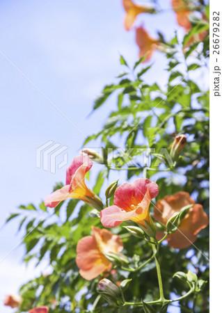 青空に咲くノウゼンカズラ 26679282