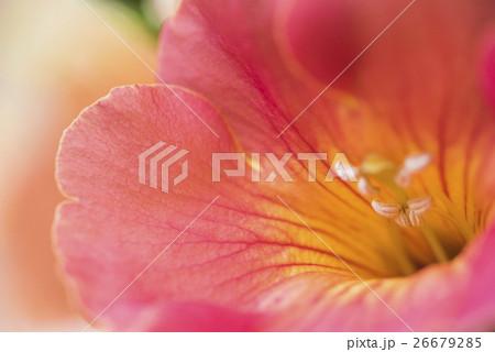 ノウゼンカズラの花のクローズアップ 26679285