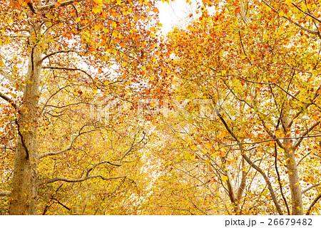 紅葉のプラタナス 26679482