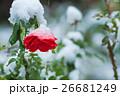 薔薇と雪 26681249