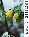薔薇と雪 26681398