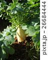 土に埋まったダイコン 26684444