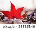 落葉になったフウの紅葉 26686349