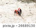 シオマネキ(ニューカレドニア イルデパン島) 26689130