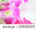 デンファレ 蘭 ピンクの写真 26689505