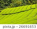 茶畑 新緑 茶の木の写真 26691653