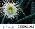 花 月下美人 サボテン科の写真 26698198