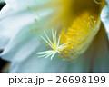 花 月下美人 サボテン科の写真 26698199