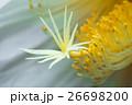 花 月下美人 サボテン科の写真 26698200