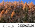 志賀高原 カラマツ 紅葉の写真 26698389