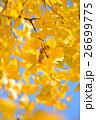 イチョウ 銀杏 実の写真 26699775