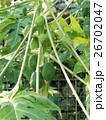 パパイヤ パパイヤ科 果物の写真 26702047