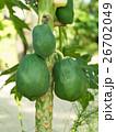 パパイヤ パパイヤ科 果物の写真 26702049